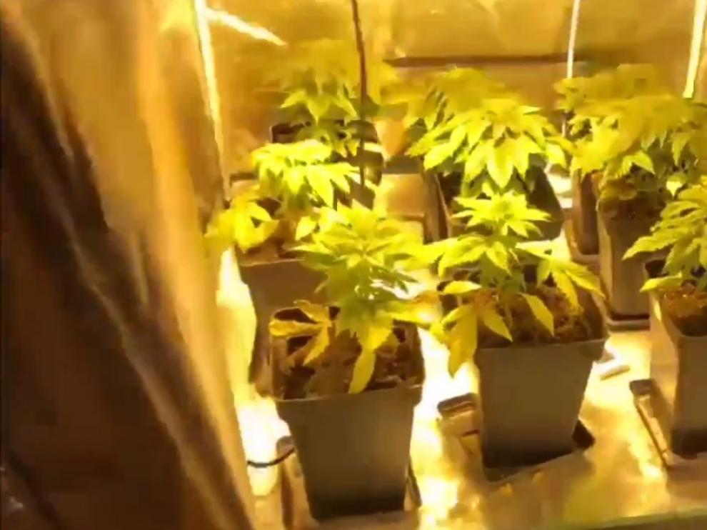 Las plantas de marihuana incautadas por la Policía Local en Las Delicias.
