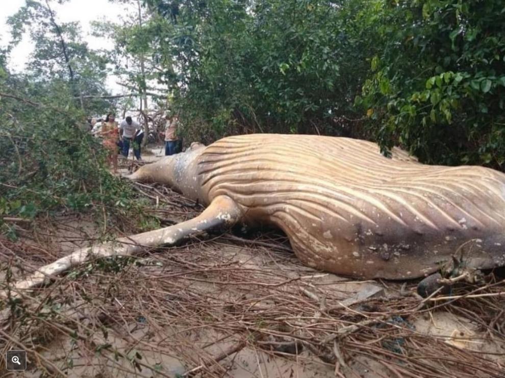 La ballena, en tierra y rodeada de manglares.