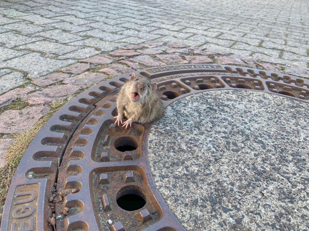 Rata atrapada en una alcantarilla.