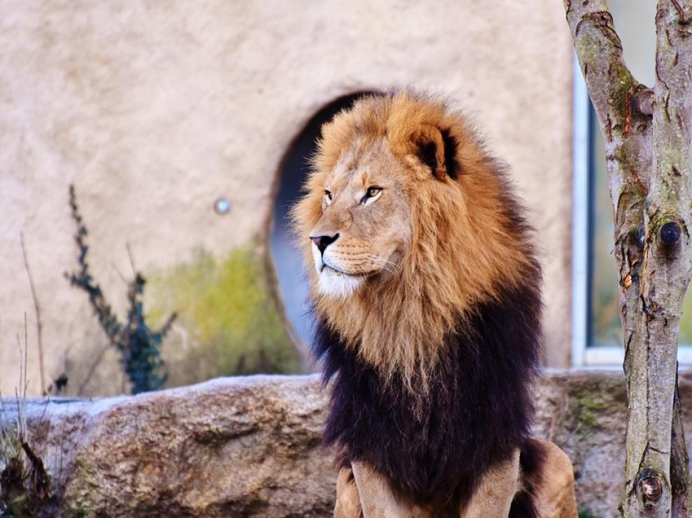 Muere un hombre atacado por un león al que tenía en su propiedad en República Checa