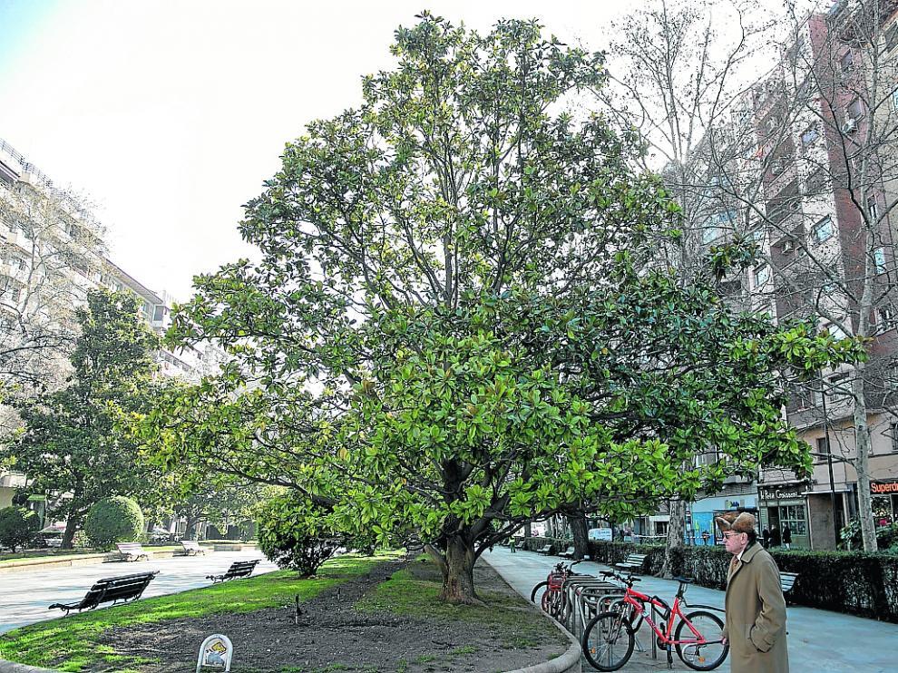 Uno de los ejemplares en el bulevar central del paseo, a la altura de San Ignacio de Loyola.