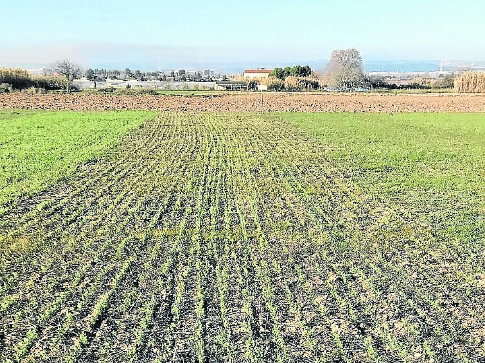 Ensayo de diversificación en secano localizado en Peñaflor.