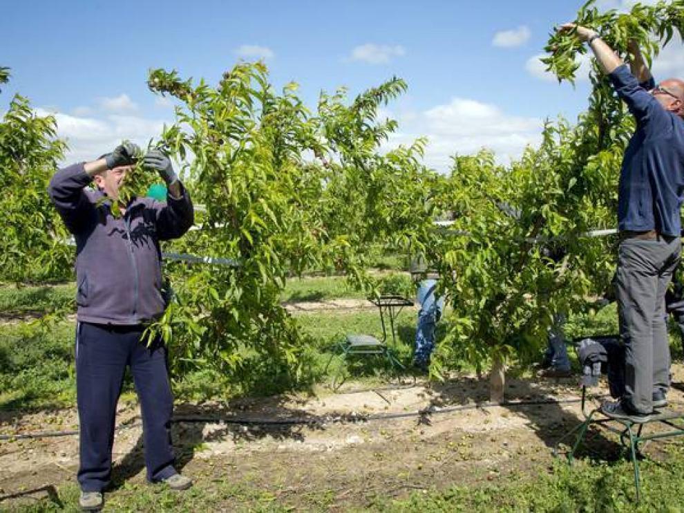 Labores en campos de nectarinas y albaricoque en La Almunia.