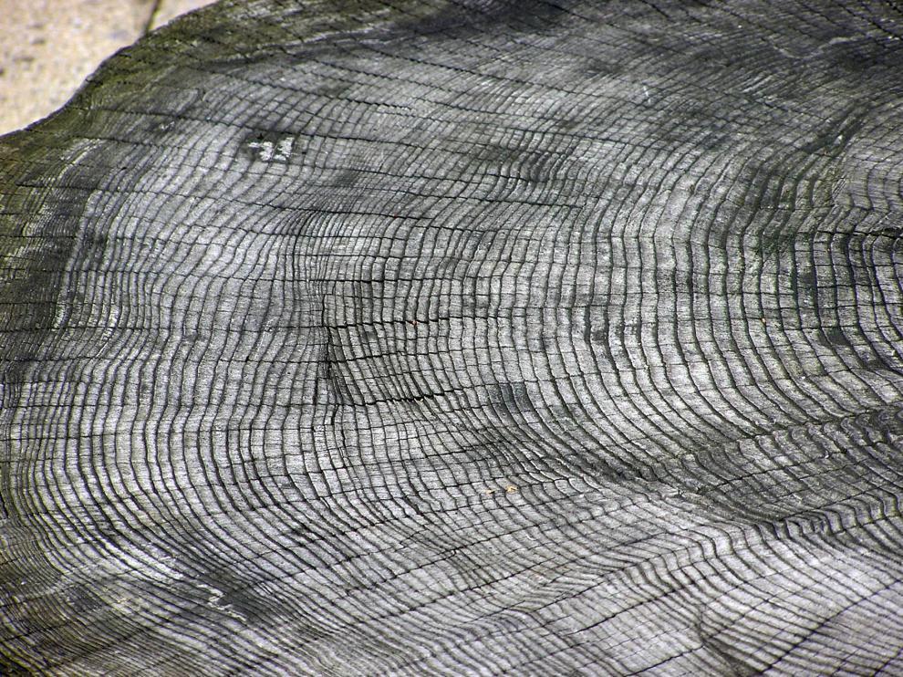 Las parejas de anillos de crecimiento, claros y oscuros, equivalen a un año de vida del árbol.