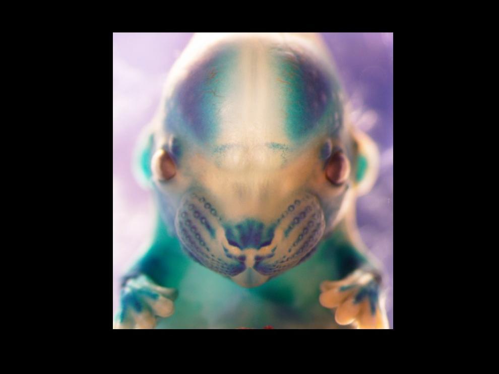 'El abrazo', premio Fotciencia Modalidad General, retrata a un embrión de ratón. En su hocico, patas y cerebro se ve la expresión de un transgén.