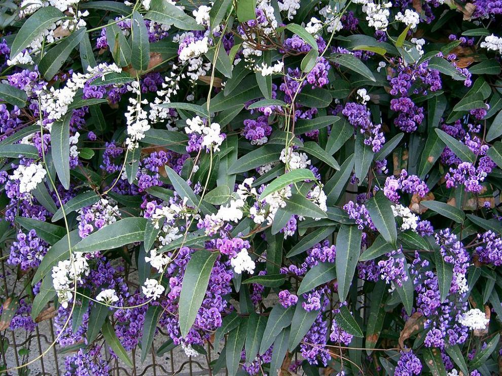 Una hardenbergia en floración