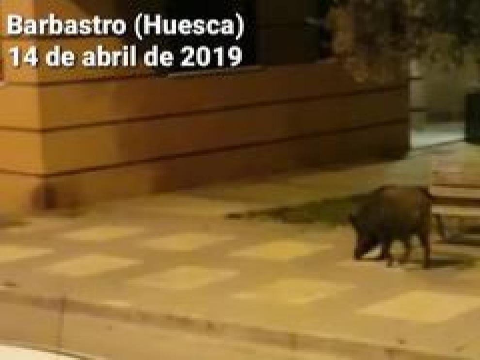 Un vecino del municipio oscense se topó de bruces con el animal cuando salió a pasear con el perro a la 1.00 de la madrugada y lo grabó en vídeo.