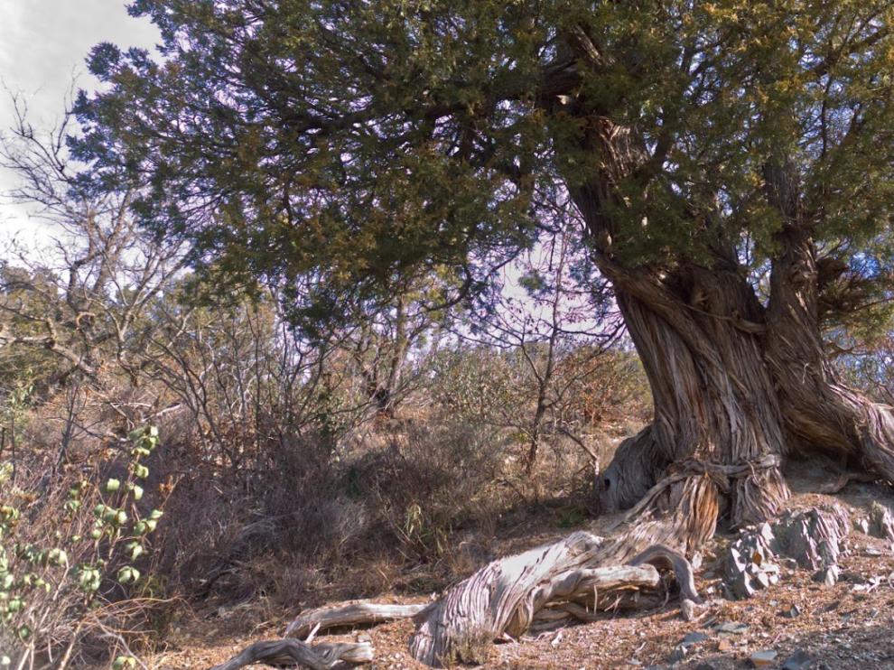 Un árbol del Sabinar de Olalla.