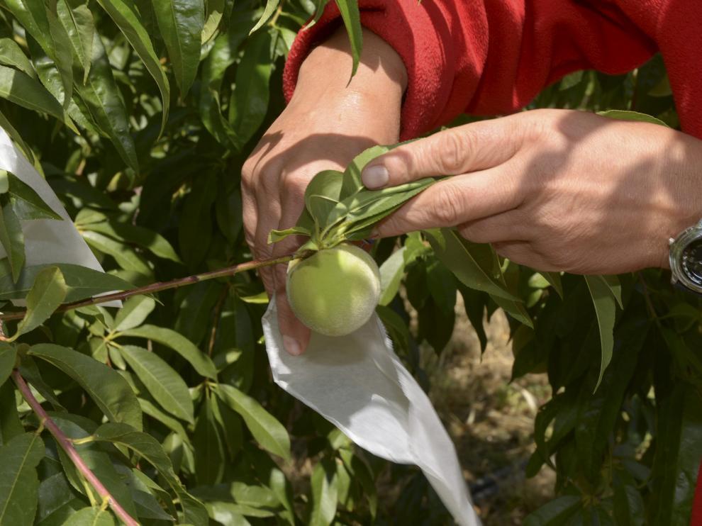 Un trabajador realiza labores de embolsado del melocotón en una explotación del Bajo Aragón