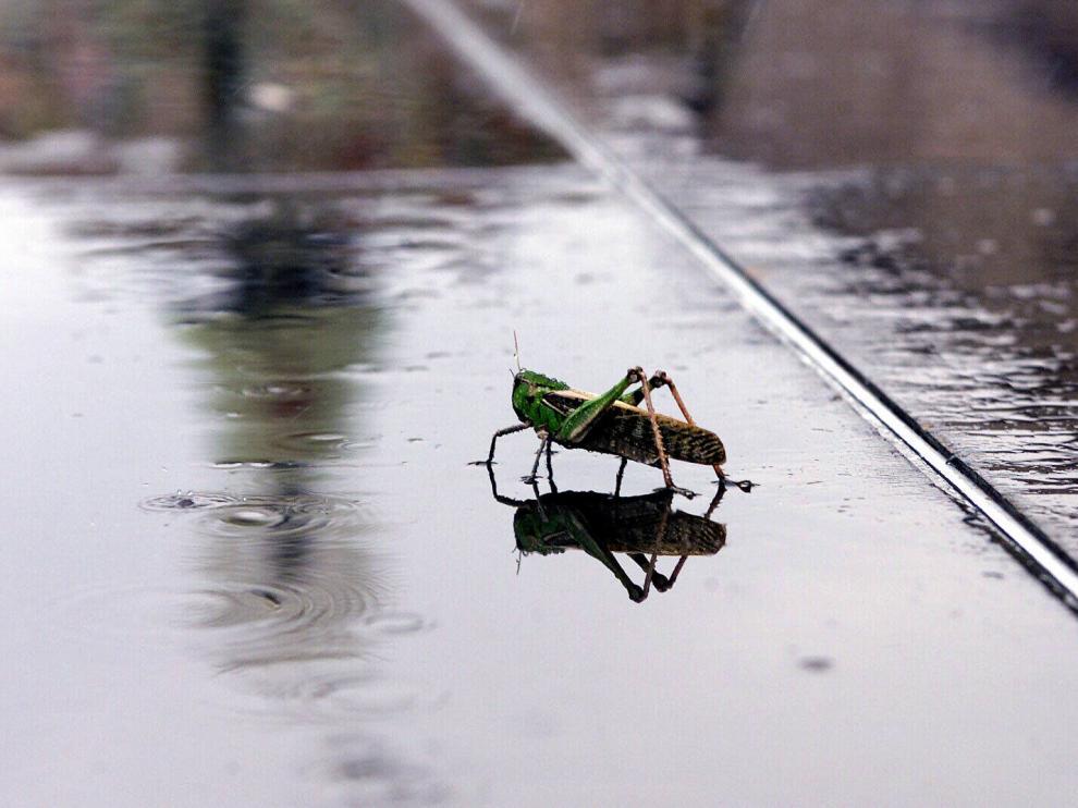 El saltamontes es uno de los insectos cuya ingesta está de moda en algunas cocinas del globo terráqueo.