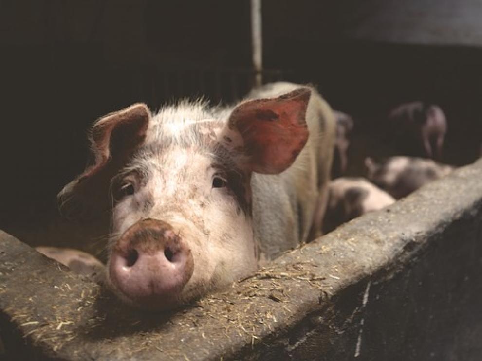 Sabiñánigo no permitirá la instalación de nuevas granjas de porcino en el término municipal.