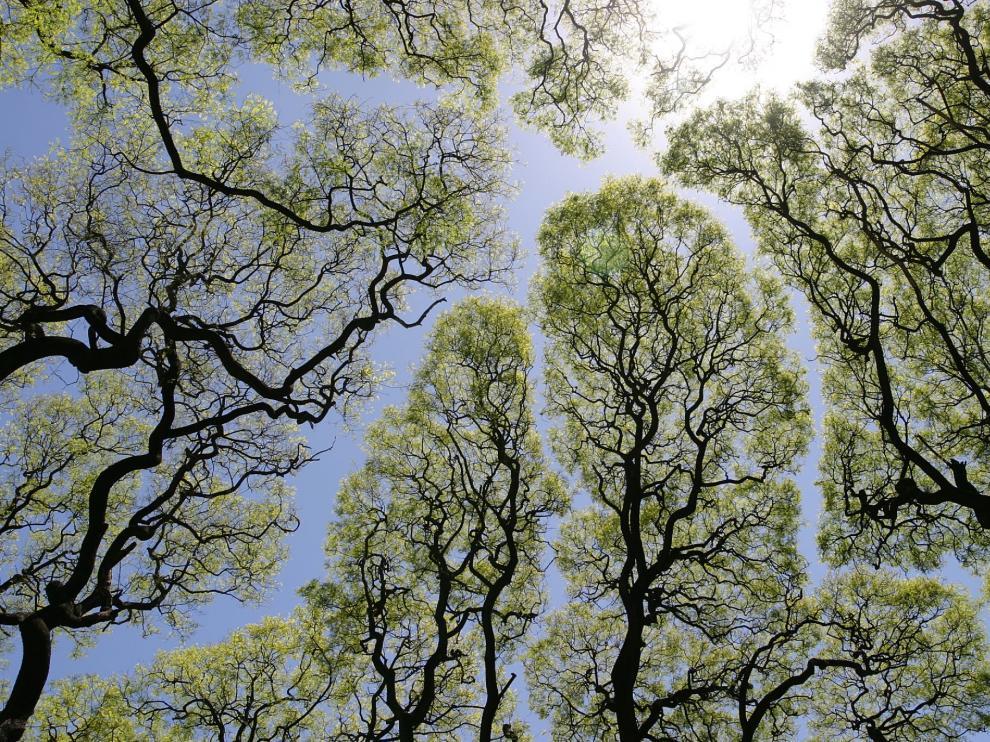 Los árboles parecen mostrar respeto por la presencia de compañeros y sus copas ni se rozan.
