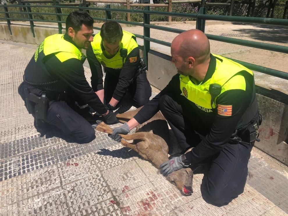 El corzo herido fue localizado en la calle Salvador de Madariaga con el Camino de las Torres.