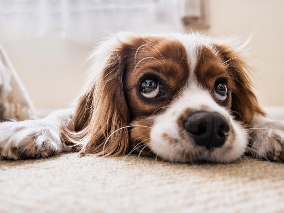 Perro en alfombra.