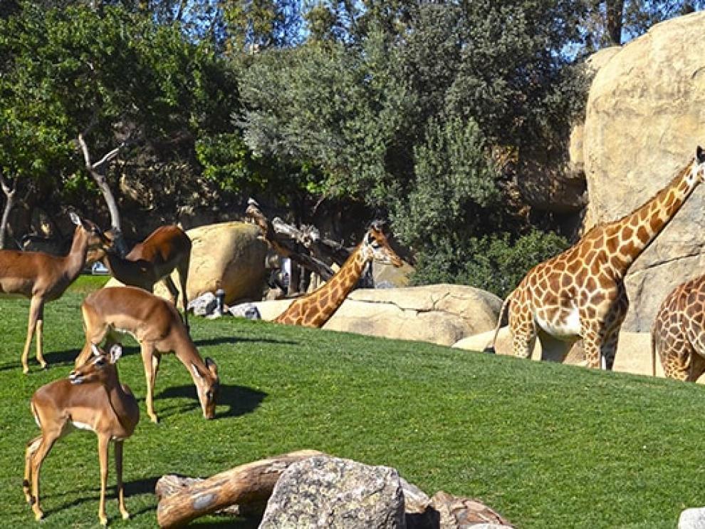 BIOPARC traslada tres jirafas en peligro de extinción nacidas en Valencia para formar un grupo en Cantabria.
