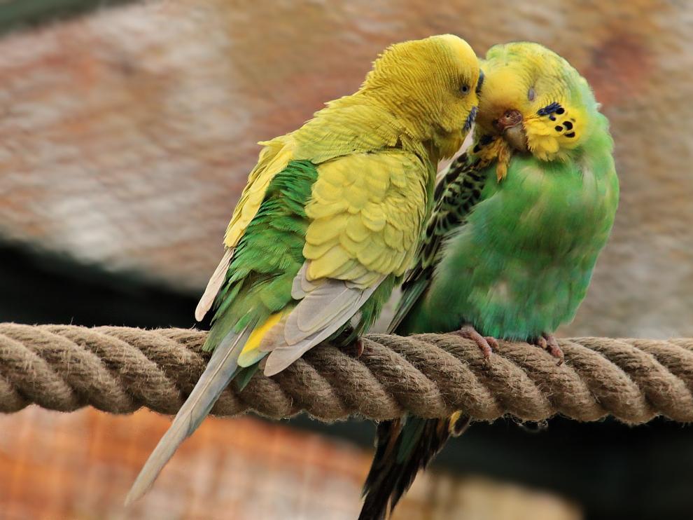 Periquitos, animales domésticos, aves, mascotas