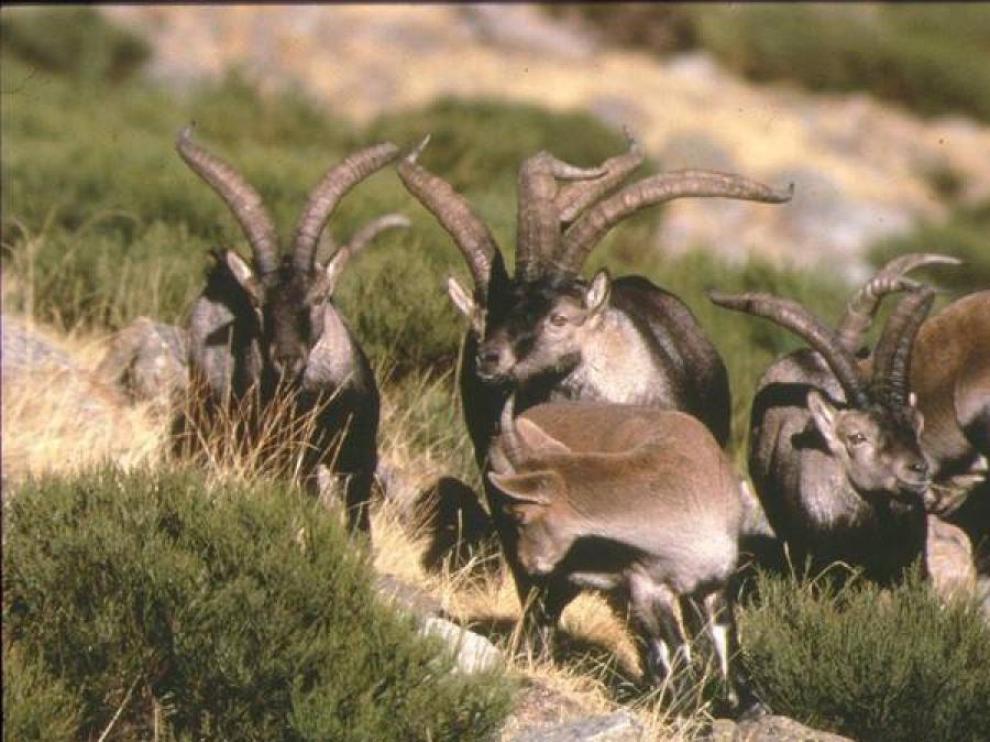 Ejemplares de cabra hispánica en los montes de Teruel.