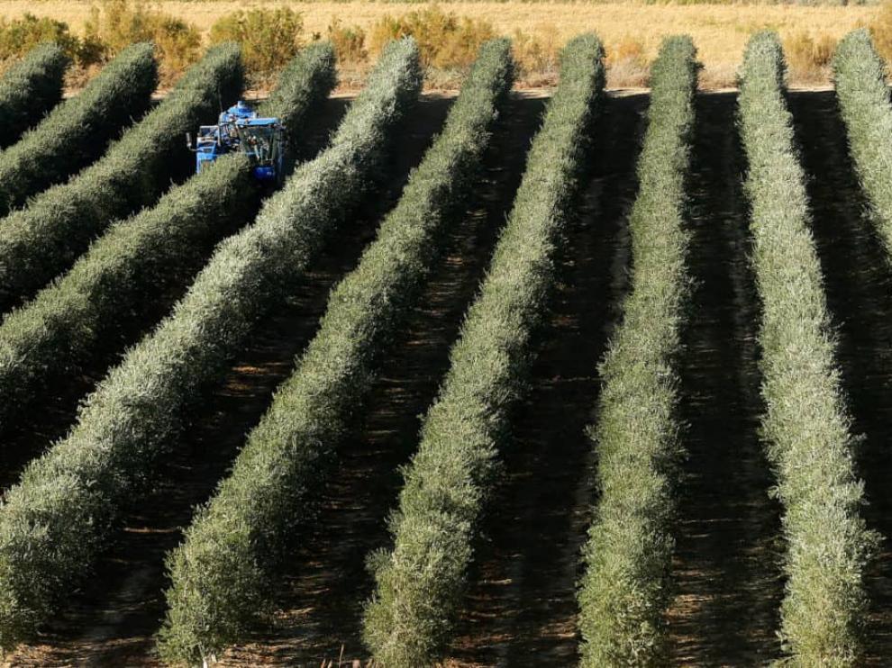 Uno de los campos de olivos de Flor de Sal.