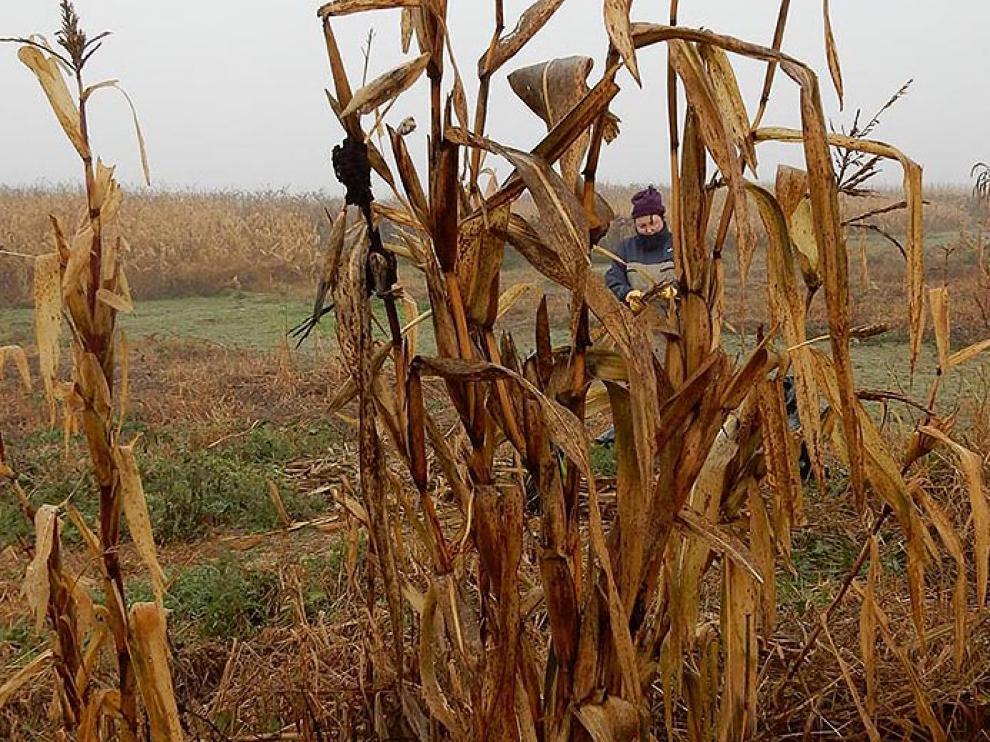 Plantas de teosinte, una mala hierba que provoca importantesa afecciones en los cultivos de maiz.