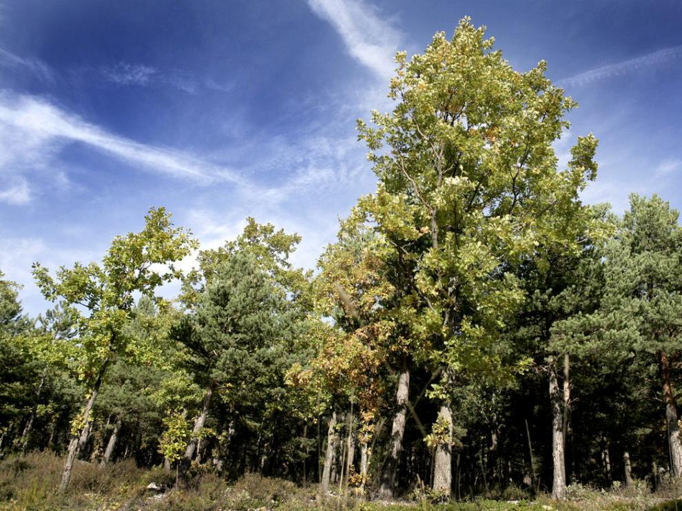 Abedular en el Parque Natural del Moncayo.