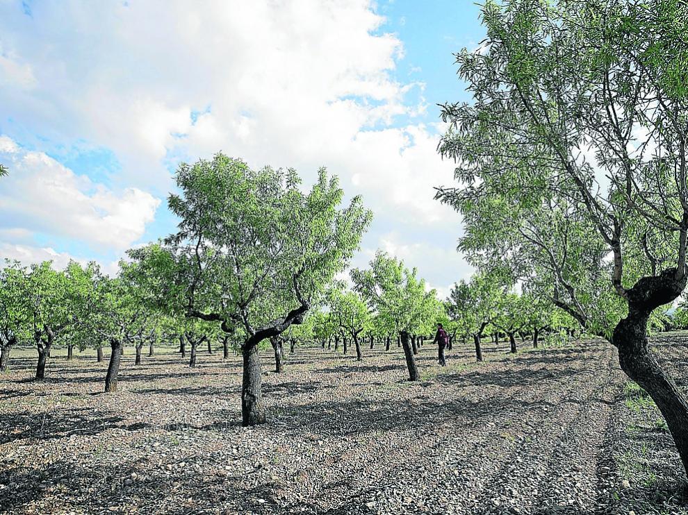 Explotación de almendro en una localidad de la comarca turolense de Gúdar.