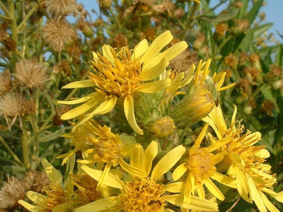Flores de la olivarda