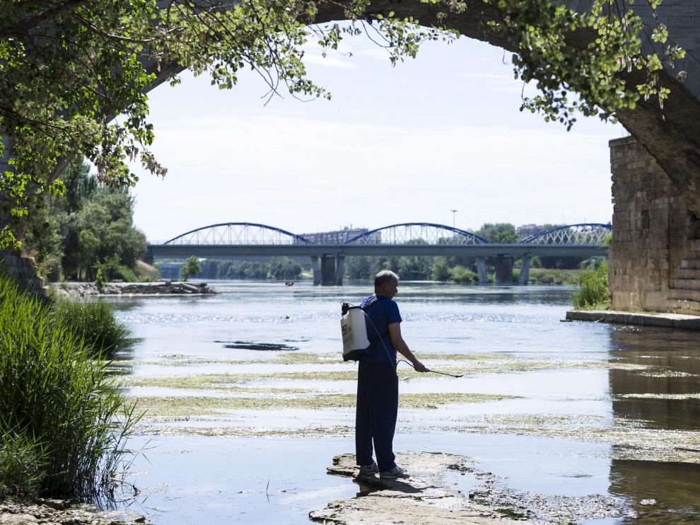 Trabajos para la prevención de la mosca negra en el Ebro, a su paso por Zaragoza