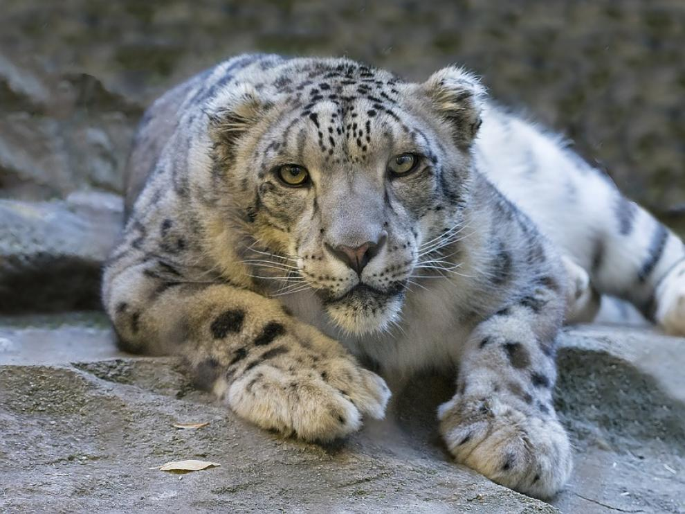 Los leopardos interactuan con turistas y trabajadores lo que puede provocar que pierdan el miedo.
