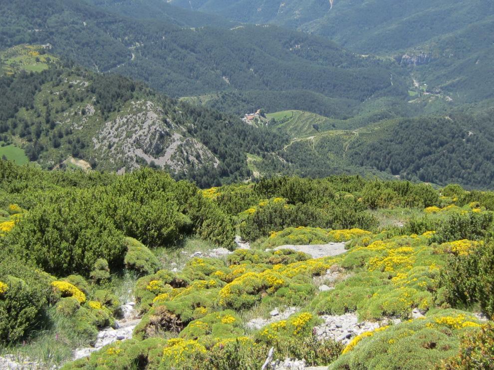 El erizón llena de amarillos la sierra de Bonés de la primavera al verano.