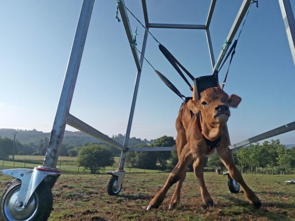 El animal está mejorando en movilidad gracias a los ejercicios con la silla de ruedas.