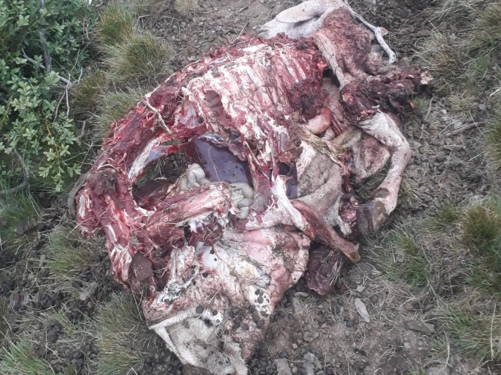 Imagen de una oveja atacada por Goiat en Cataluña.