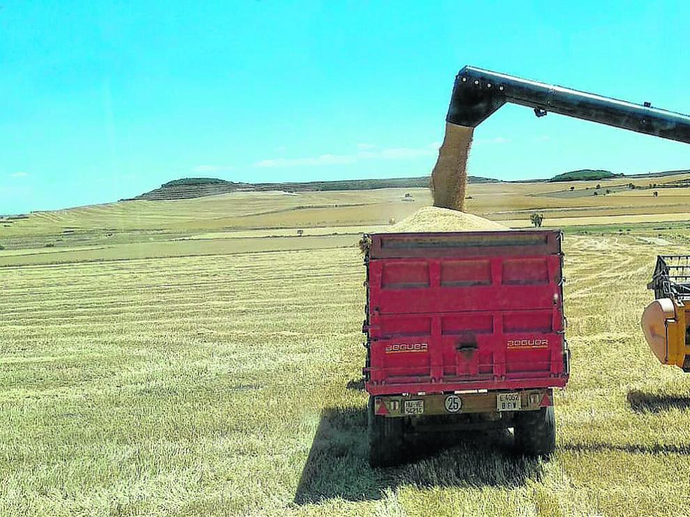 Labores de recolección de cereal de invierno esta semana en una explotación de Almudévar, en la comarca de la Hoya de Huesca.