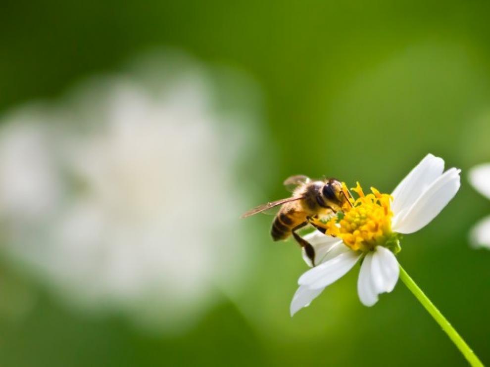 Picadura de abeja que hacer