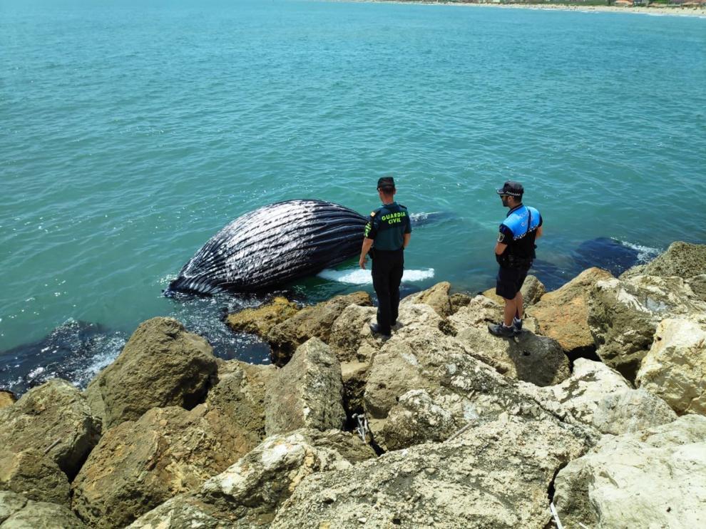 El cadáver del cetáceo fue hallado en el entorno del puerto de la capital de la Safor,