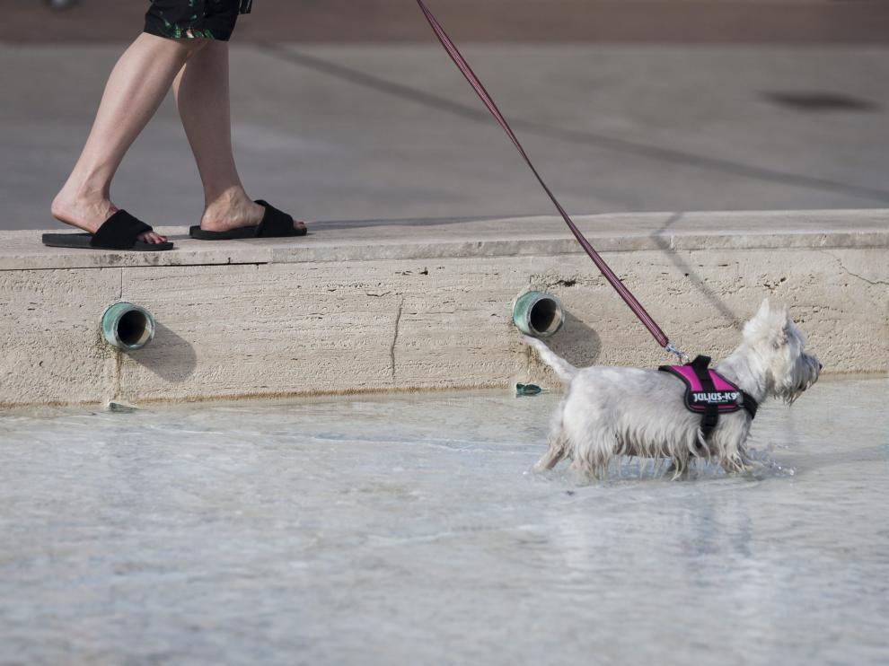 Un perro se refresca en una fuente de Zaragoza en un día de calor.