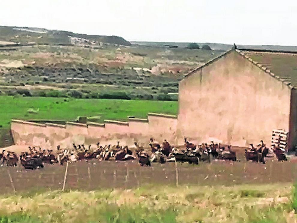 Decenas de aves necrófagas en la explotación ganadera de Tauste.