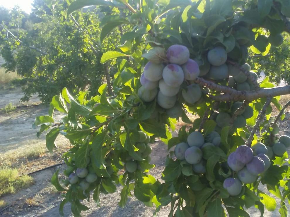 Más de la mitad de los cultivos de ciruela reina de Caspe han quedado abrasados por el calor.