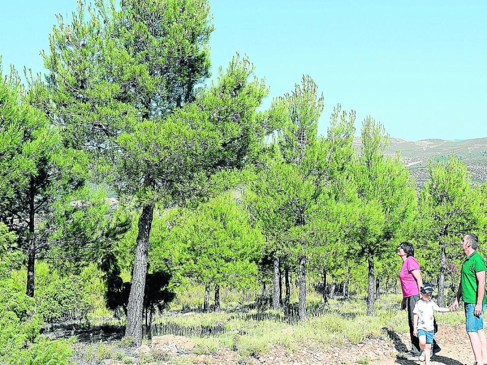 25 años después en las zonas quemadas de Bordón crecen pinos de más de cuatro metros de altura.