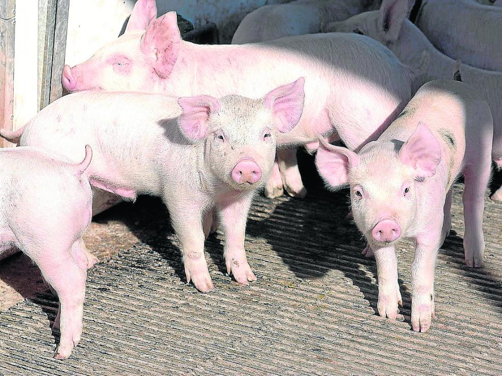 Ejemplares de una ganadería de porcino situada en la Comunidad aragonesa.