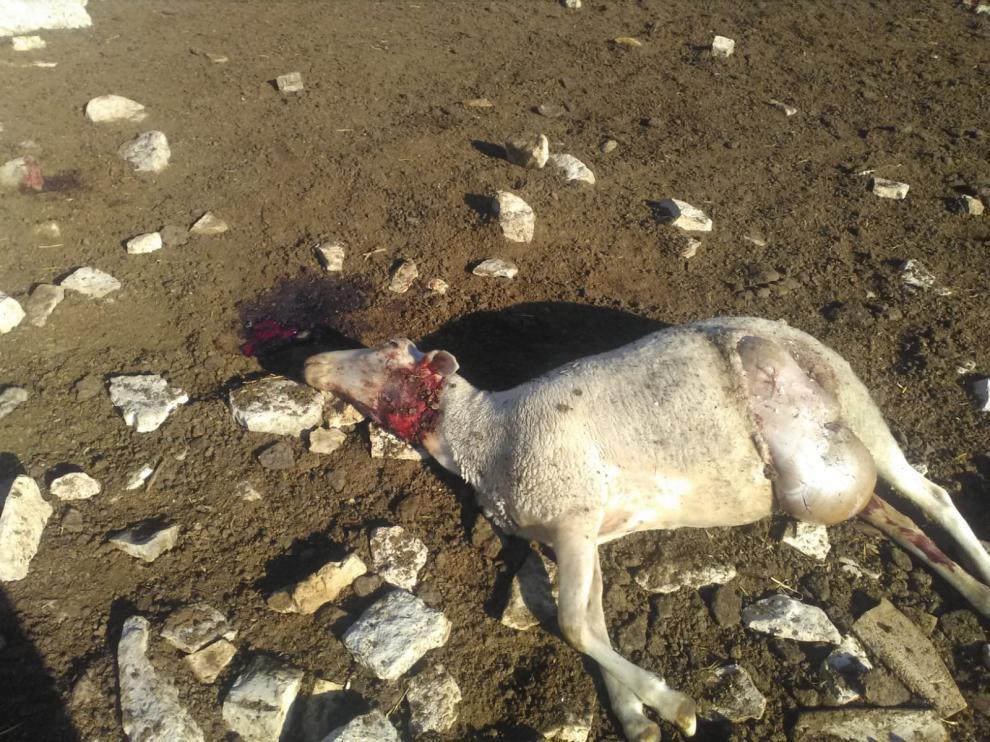Imagen del animal que ha aparecido muerto en la explotación afectada.