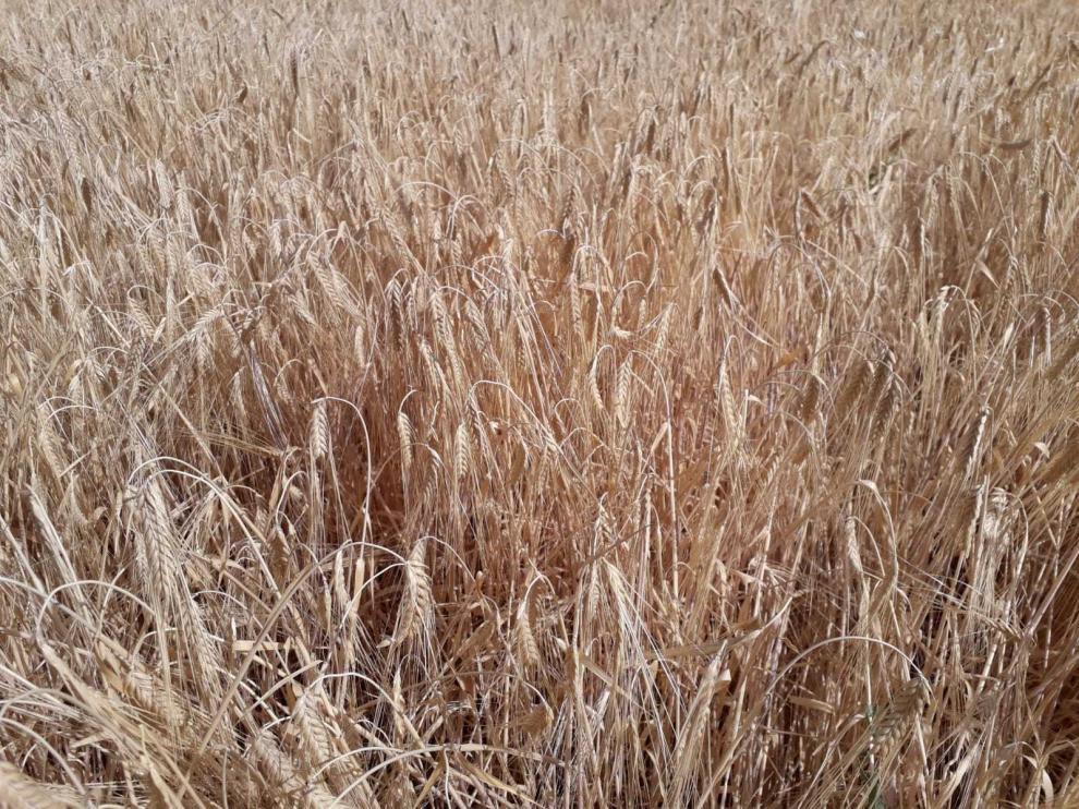 Efecto de la sequía en un campo de cereal de invierno.