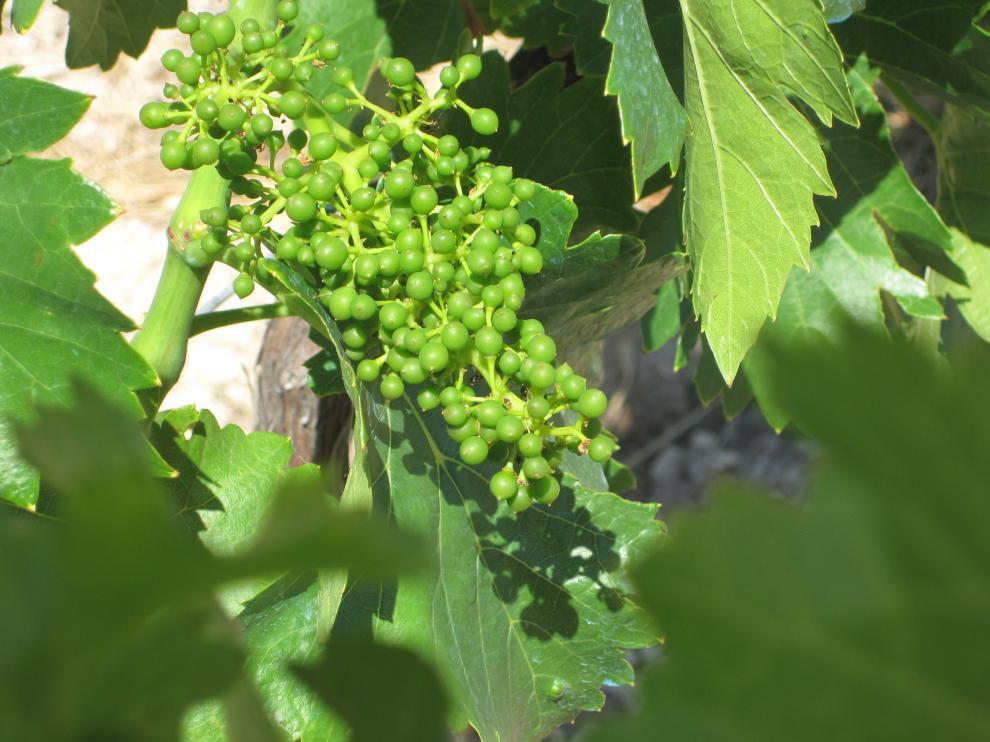 Los viñedos de Calatayud presentan un buena floración y cuajado.