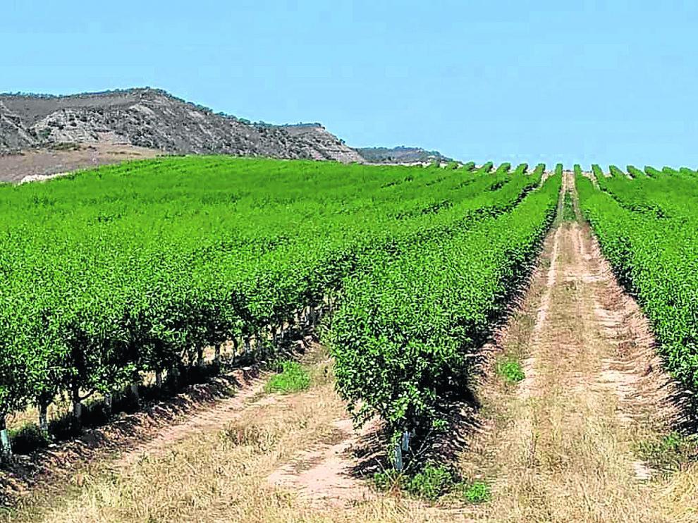 Explotación de almendros en seto, un nuevo modelo agronómico para un cultivo en plena expansión.