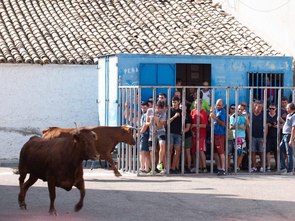 Una de las vacas embiste la barrera en  la que se protegían los vecinos en el último encierro de Torres de Berrellén.