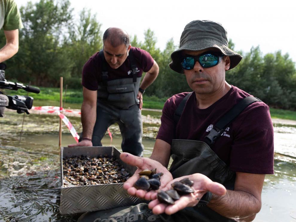 Primer muestreo de la almeja asiática en la estación de la Cuenca del Ebro de Utebo