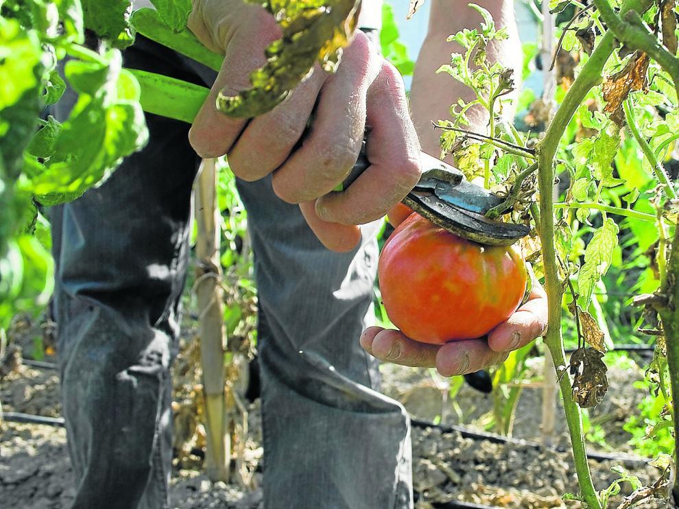 Las hortalizas tienen una presencia destacada en la agricultura ecológica aragonesa, aunque sus explotaciones son más pequeñas y ocupan menor número de hectáreas.
