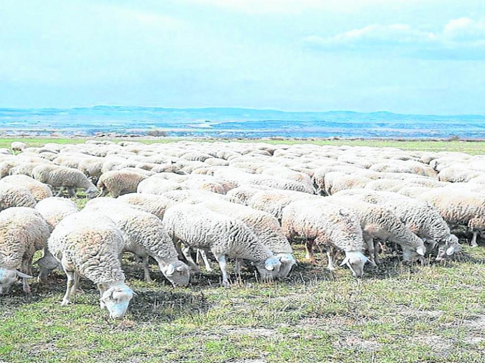 Un rebaño de ovejas de la raza rasa aragonesa alimentándose de pastos naturales en Aragón.