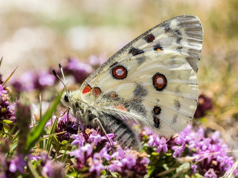 Mariposa Apolo, 'Parnassius apollo', una de las más vistosas que pueden verse en la zona.
