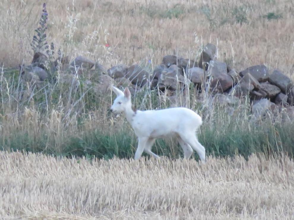 El corcino era totalmente blanco, salvo por una pequeña mancha marrón en la parte posterior del cuello.