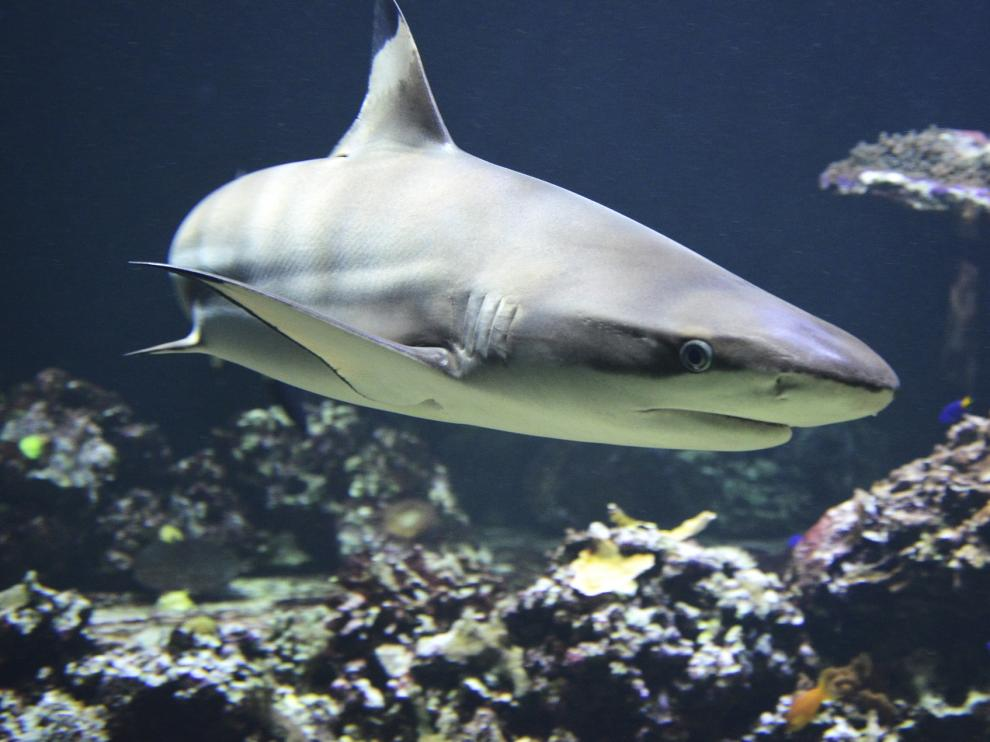 tiburón, tiburones